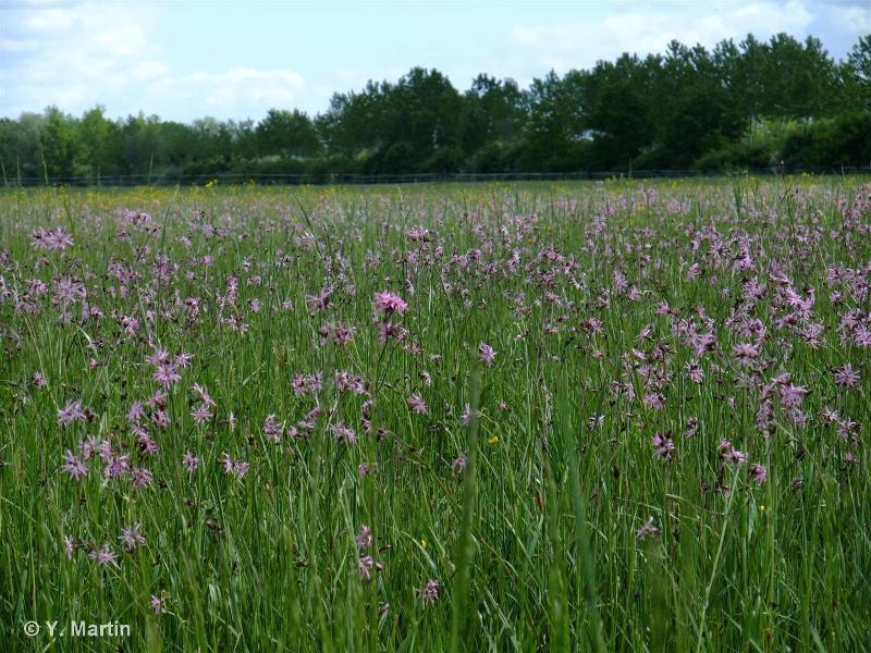 Lychnis flos-cuculi subsp. flos-cuculi