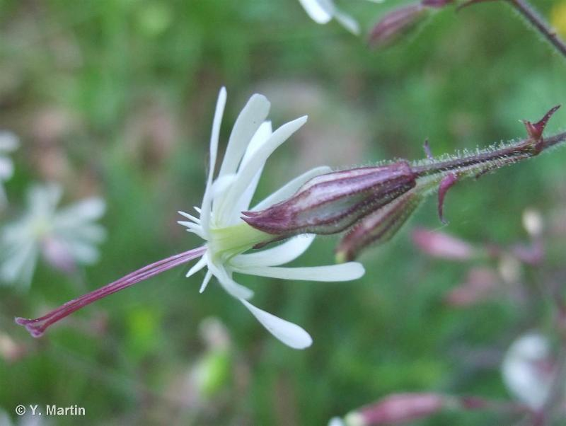 Silene nutans subsp. nutans