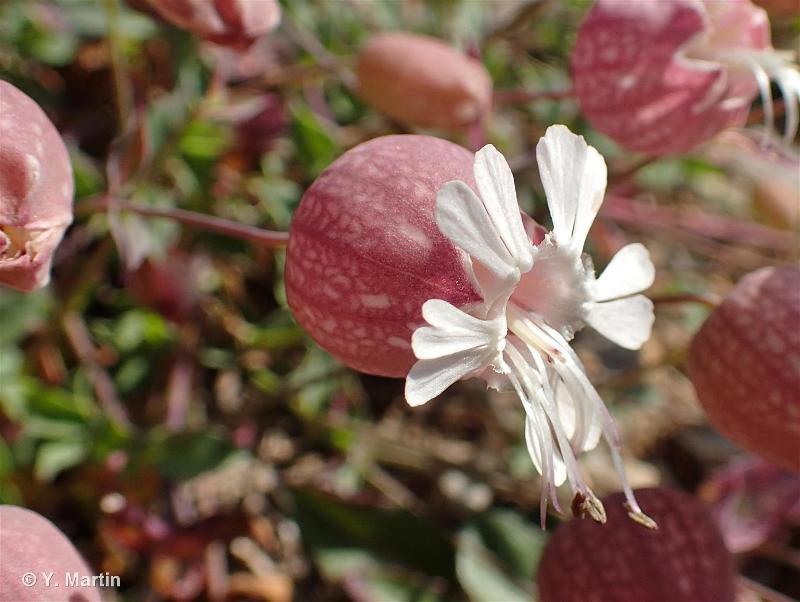 Silene vulgaris subsp. prostrata