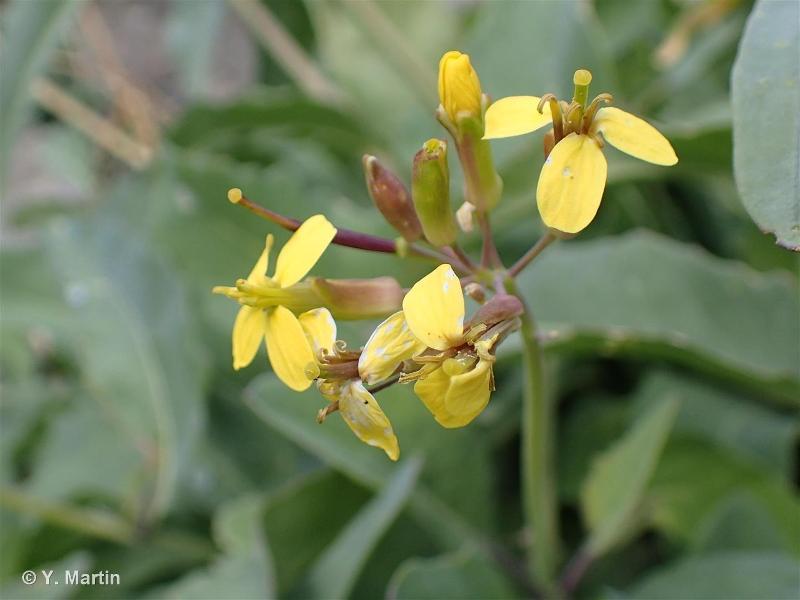 Coincya richeri