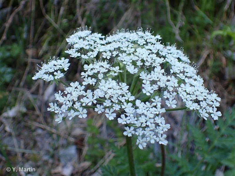 Chaerophyllum villarsii
