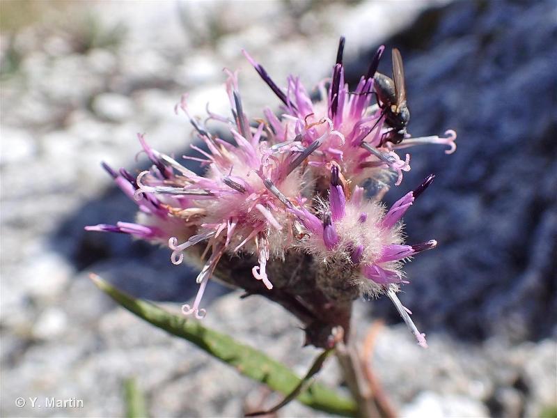 Saussurea alpina