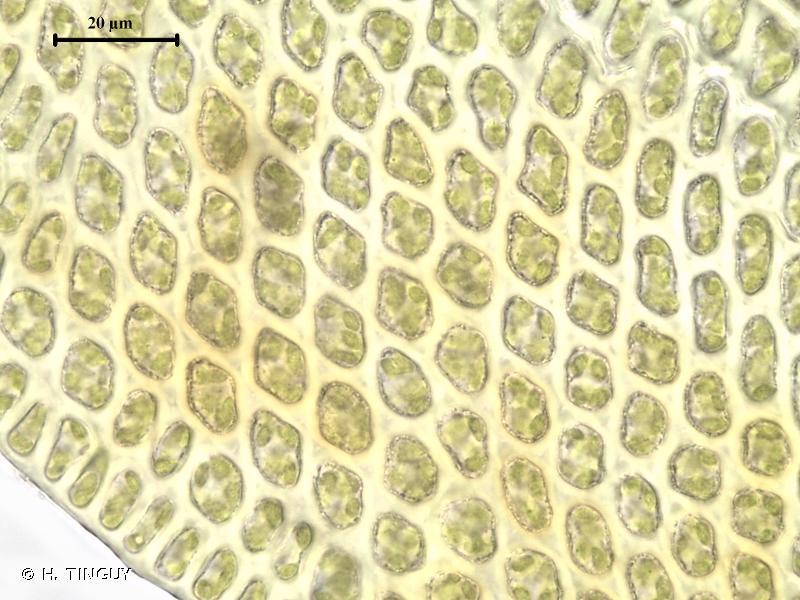 Leucodon sciuroides