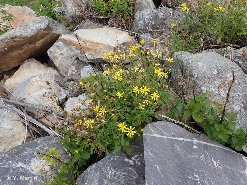 Senecio squalidus subsp. rupestris