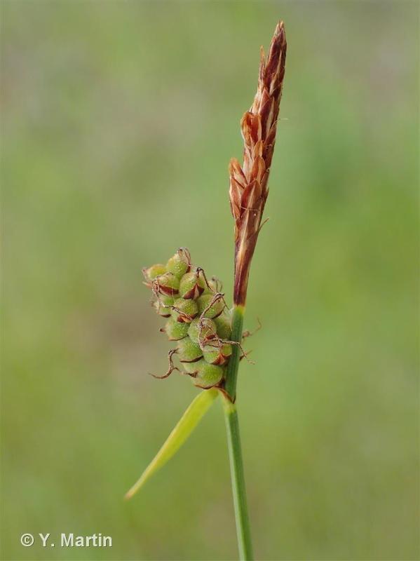 Carex tomentosa