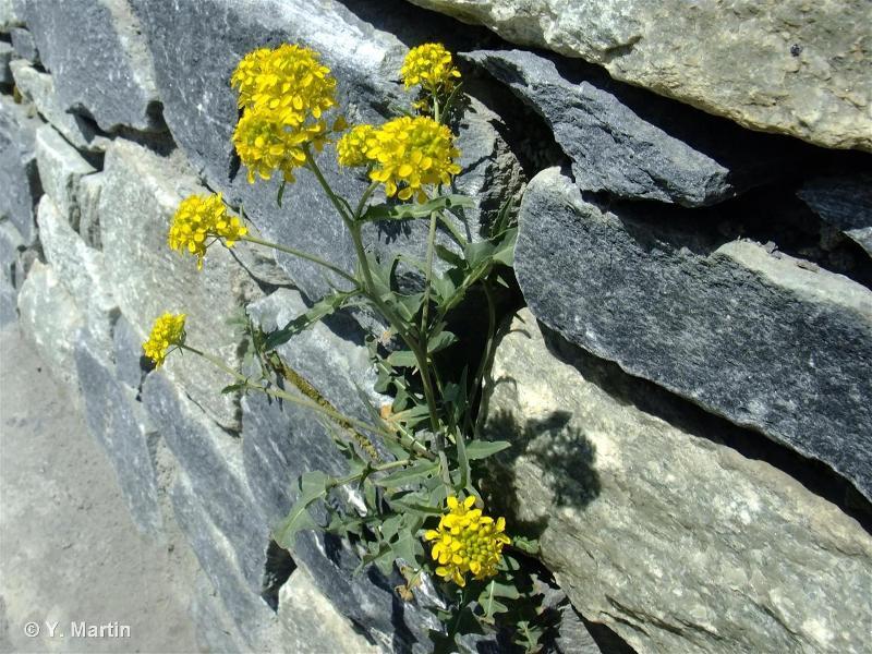Sisymbrium austriacum
