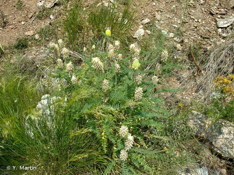 Astragalus alopecurus
