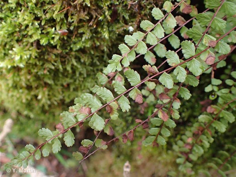 Asplenium trichomanes subsp. trichomanes