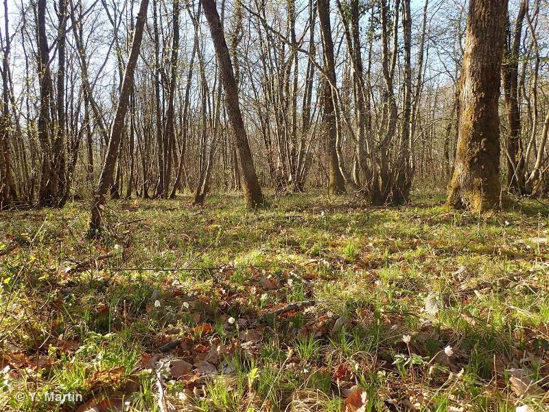 41.161 - Hêtraie à laîches - CORINE biotopes