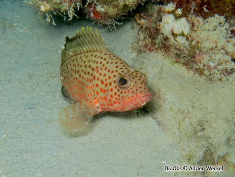 Epinephelus guttatus
