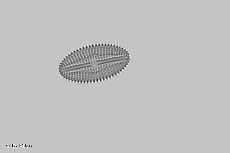 Diploneis elliptica