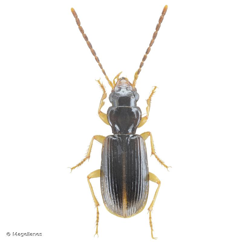 Anthracus flavipennis