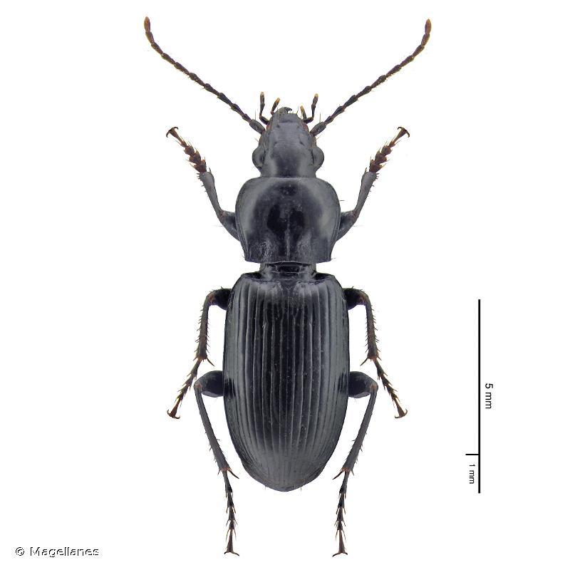 Pterostichus gracilis