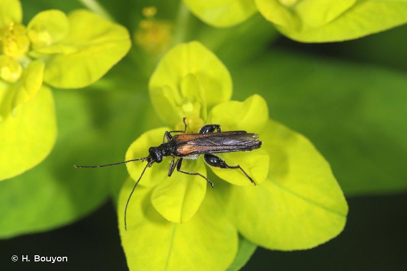 Oedemera pthysica