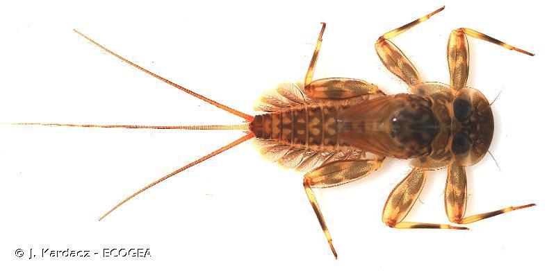 Ecdyonurus venosus