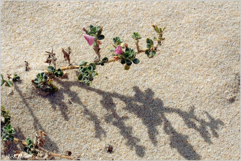 Ononis spinosa subsp. procurrens