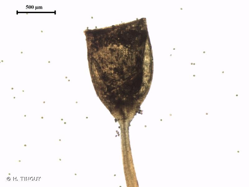 Tortula caucasica