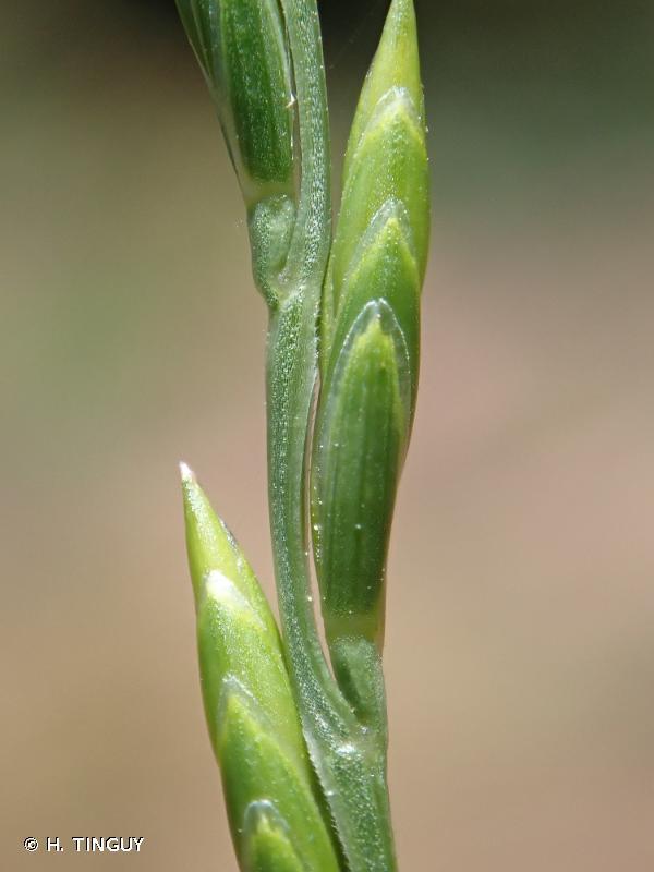 Micropyrum tenellum