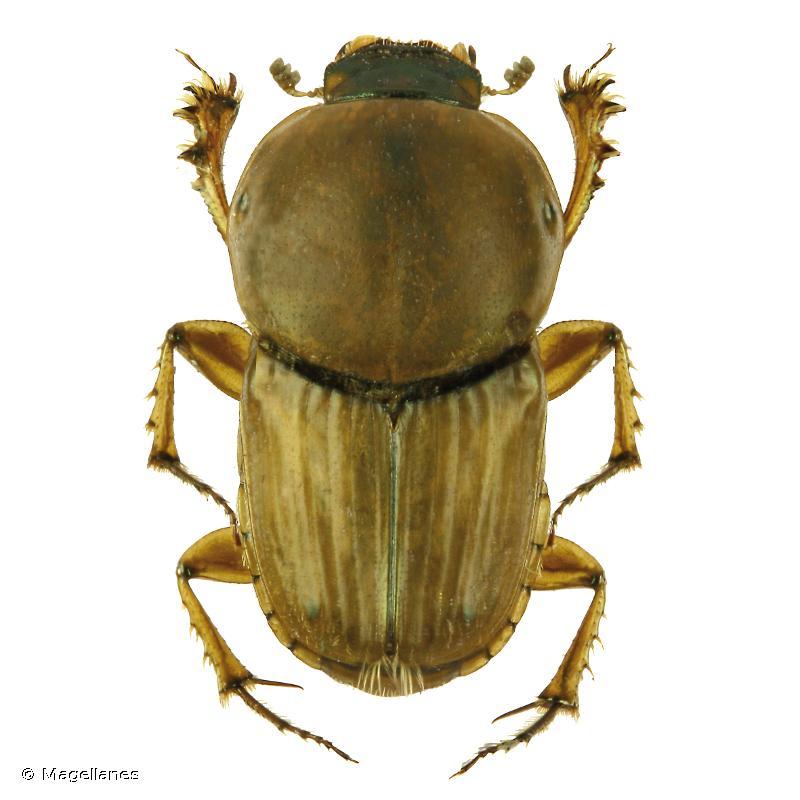 Euoniticellus fulvus