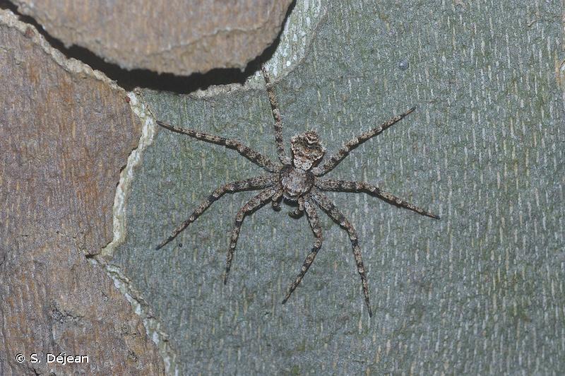 Philodromus pinetorum