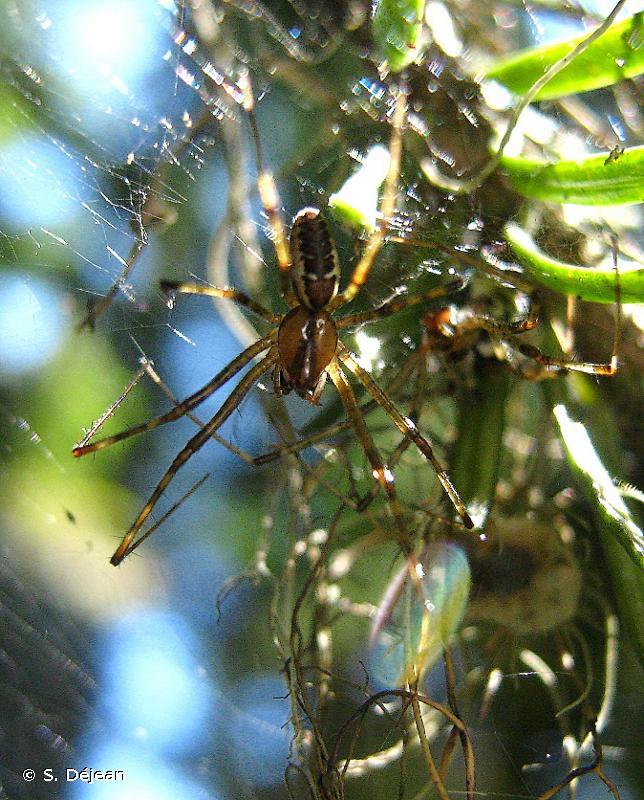 Pityohyphantes phrygianus