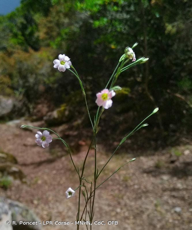 Petrorhagia saxifraga subsp. saxifraga