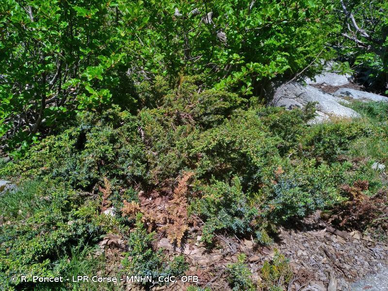 Juniperus communis subsp. nana