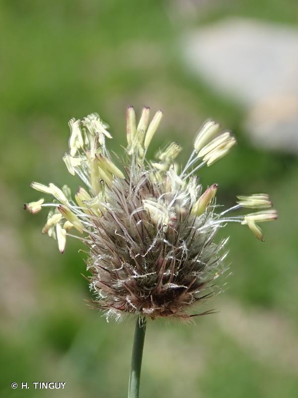 Alopecurus gerardi