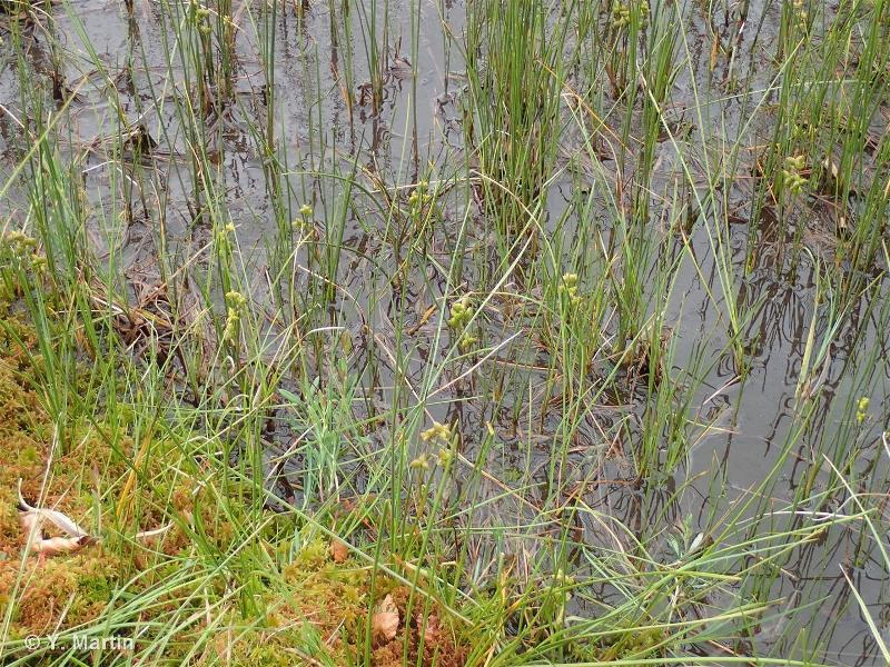 Scheuchzeria palustris