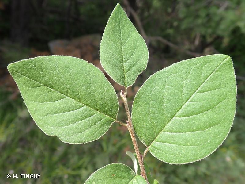 Cotoneaster x intermedius