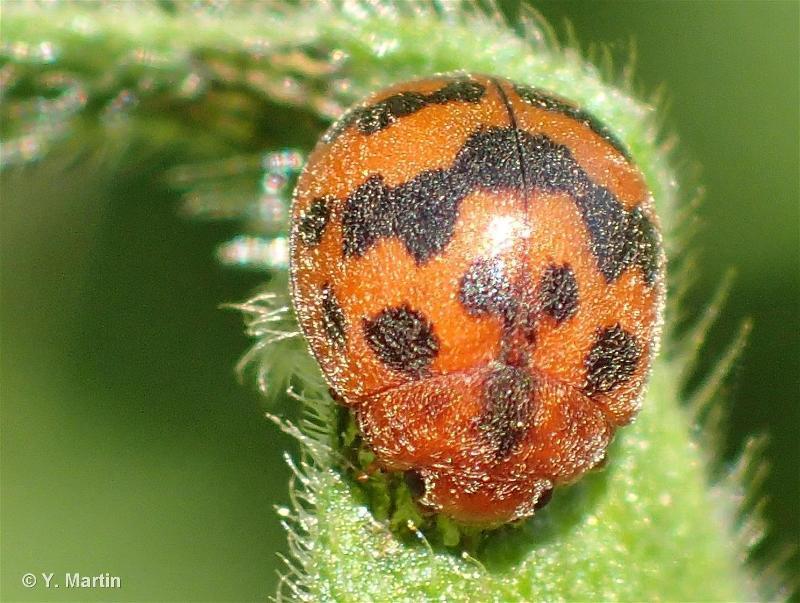 Subcoccinella vigintiquatuorpunctata