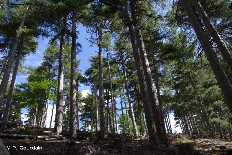 G3.54 - Pinèdes corses à <em>Pinus laricio</em> - EUNIS