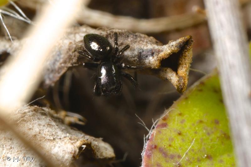 Chalcoscirtus nigritus