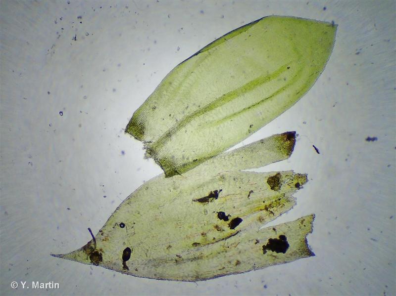 Isothecium alopecuroides