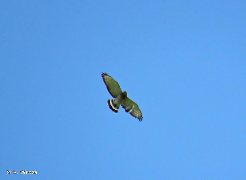 Buteo platypterus