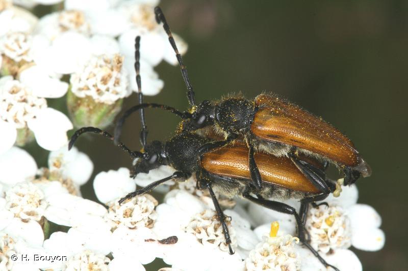 Stictoleptura hybrida