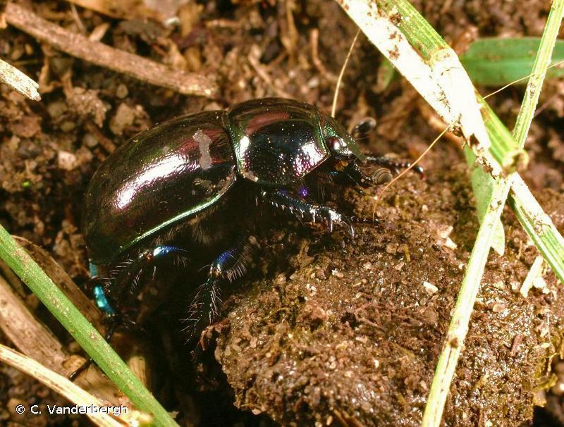 Trypocopris pyrenaeus