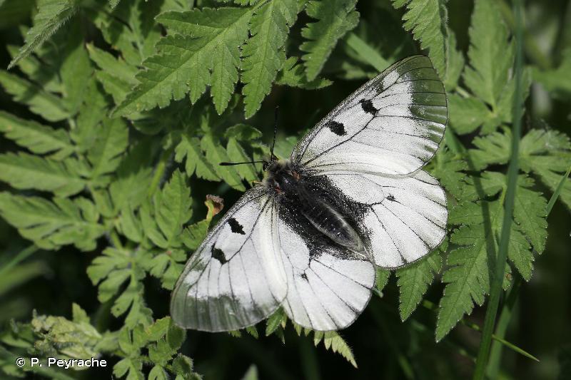 Parnassius mnemosyne montdorensis