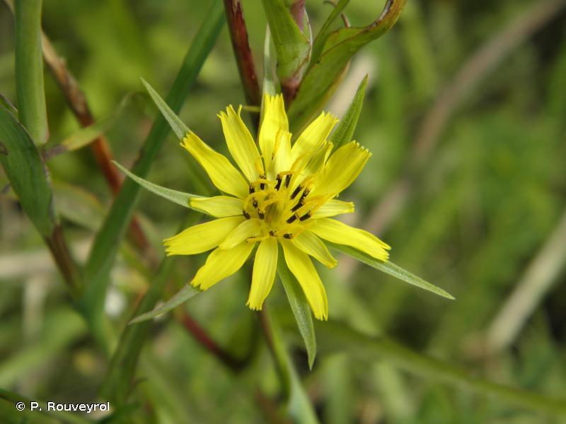 Tragopogon pratensis subsp. minor