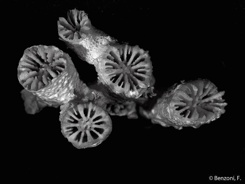 Blastomussa merleti