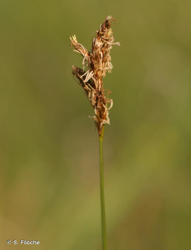 Carex praecox