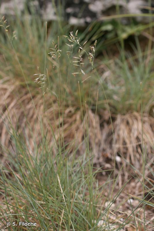 Festuca lemanii
