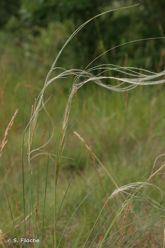 Stipa gallica