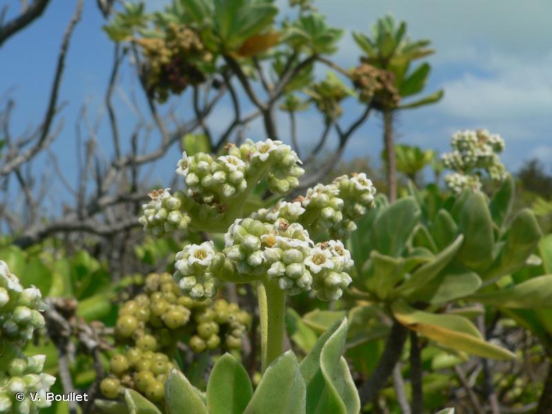 Heliotropium foertherianum