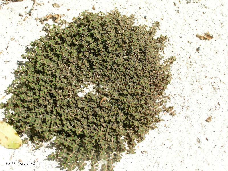 Euphorbia stoddartii