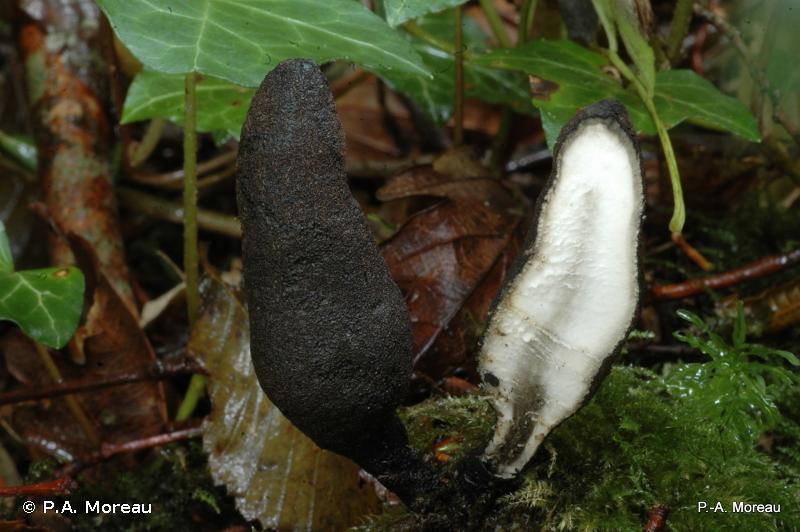 Xylaria polymorpha