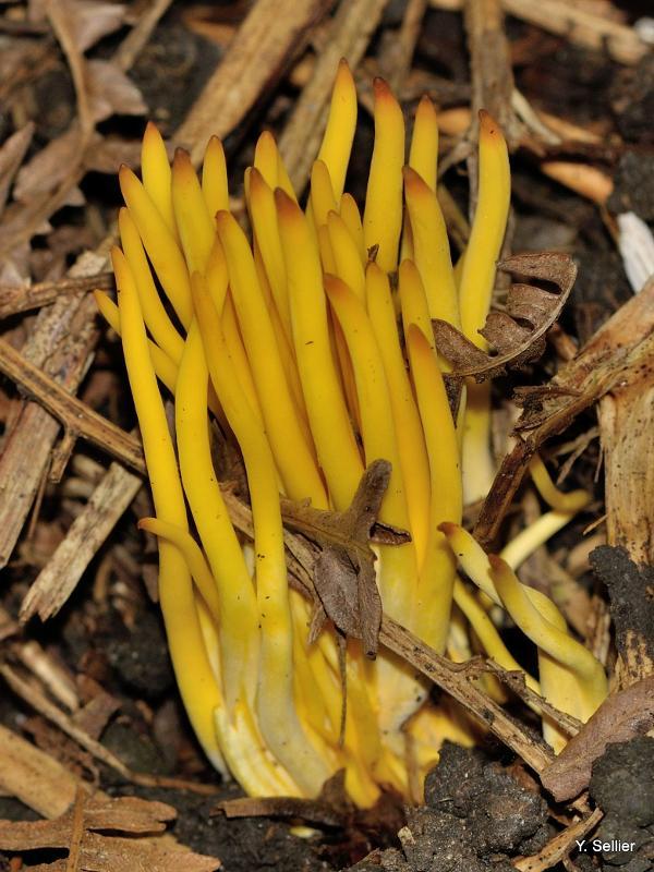 Clavulinopsis fusiformis