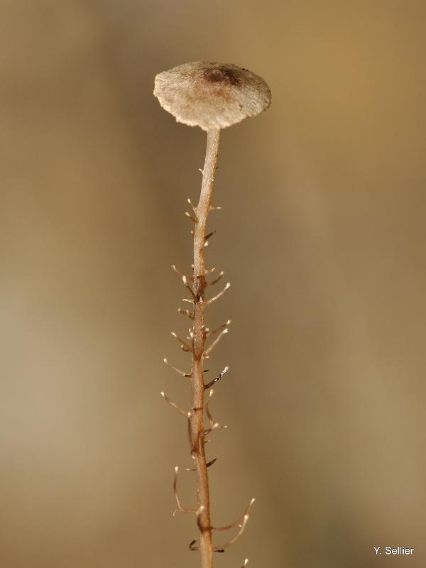 Dendrocollybia racemosa