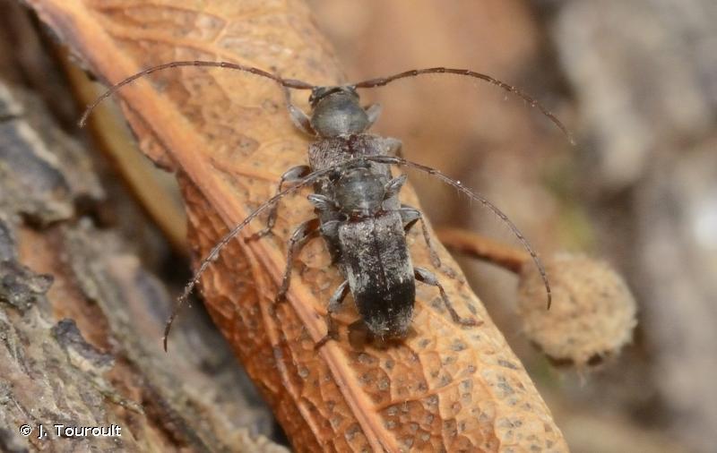 Exocentrus lusitanus