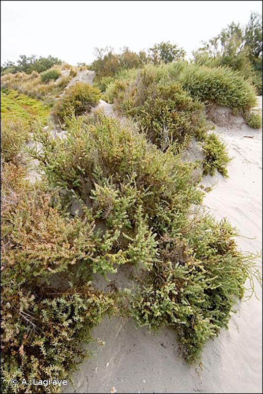 15.61 - Fourrés des marais salés méditerranéens - CORINE biotopes
